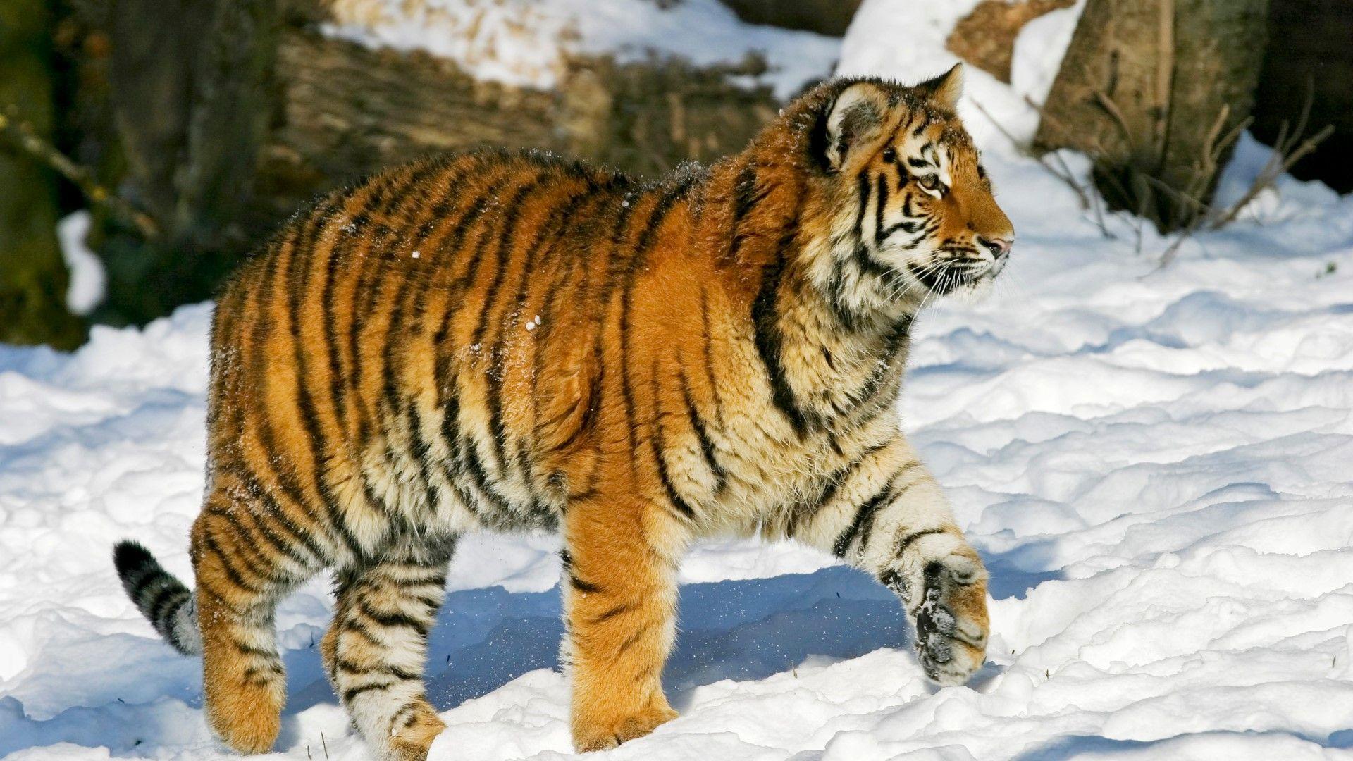 Windoes Wallpaper Smoll Tiger 1920x1080 Siberian Tiger Tiger Panthera