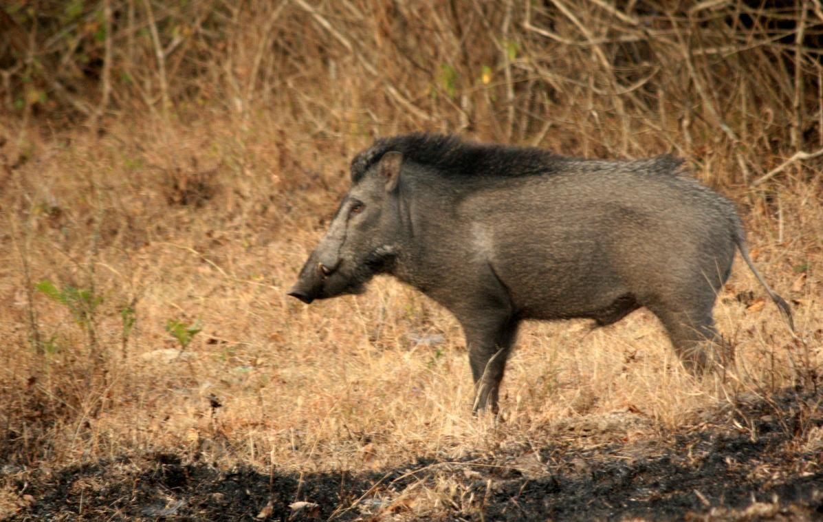 Indian WIld Boar Wild pig, Wild boar, Boar