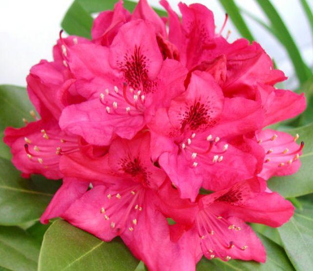 Washington State My Home West Virginia Flower Wild Rhododendron