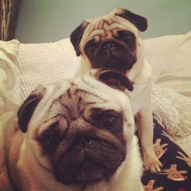 George Pug Teddy Pug, Louise @george_and_teddy_pugs Evening friends ...Instagram photo | Websta (Webstagram)