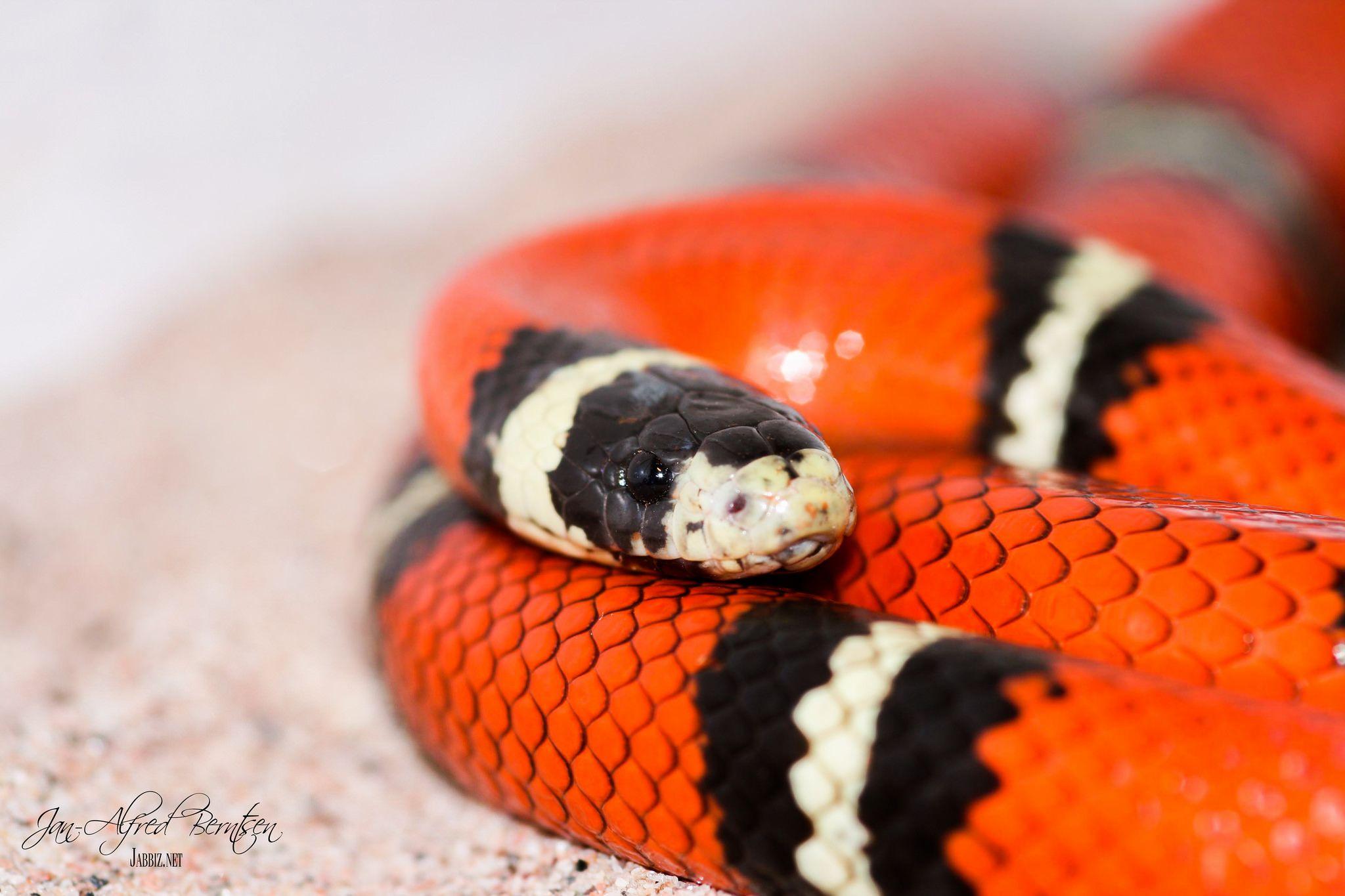 Sinaloan Milk Snake Milk Snake Snake Reptiles And Amphibians