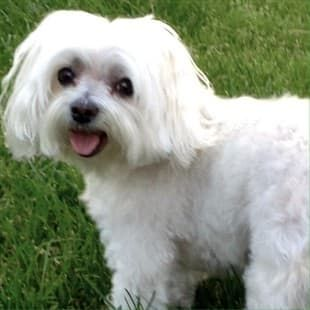 10 Year Old Maltese Dog