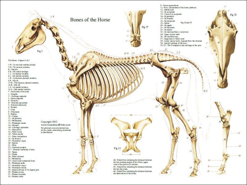 Pin de KSR en Drawing - Animal Anatomy | Pinterest | Anatomia ...