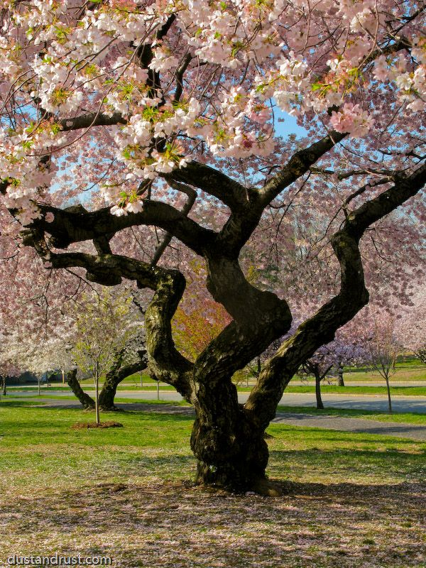 Branch Brook Park In Belleville Nutley New Jersey 3000 Cherry Trees The Most In North America In Any One Place Cherry Blossom Tree Brook Park Twisted Tree