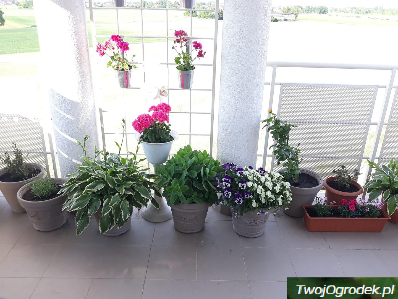 Balkonowy Zawrot Glowy Planters Plants Planter Pots