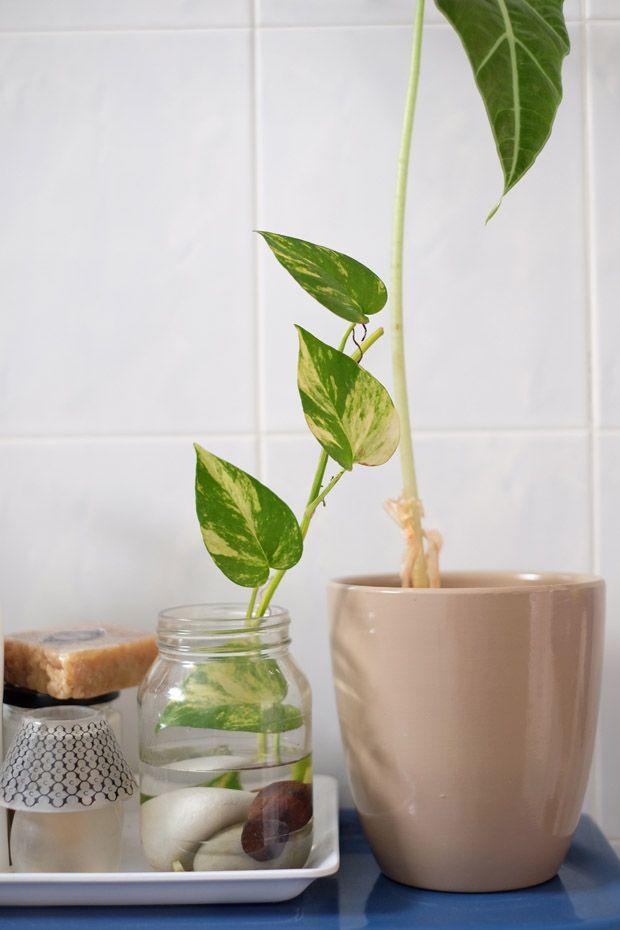 DIY Money plant in glass bottle