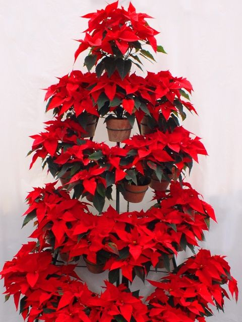 Christmas Tree Made With Potted Poinsettia Plants Very