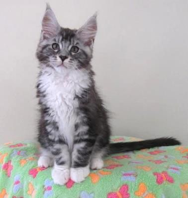 Coon river maine coon cats and kittens