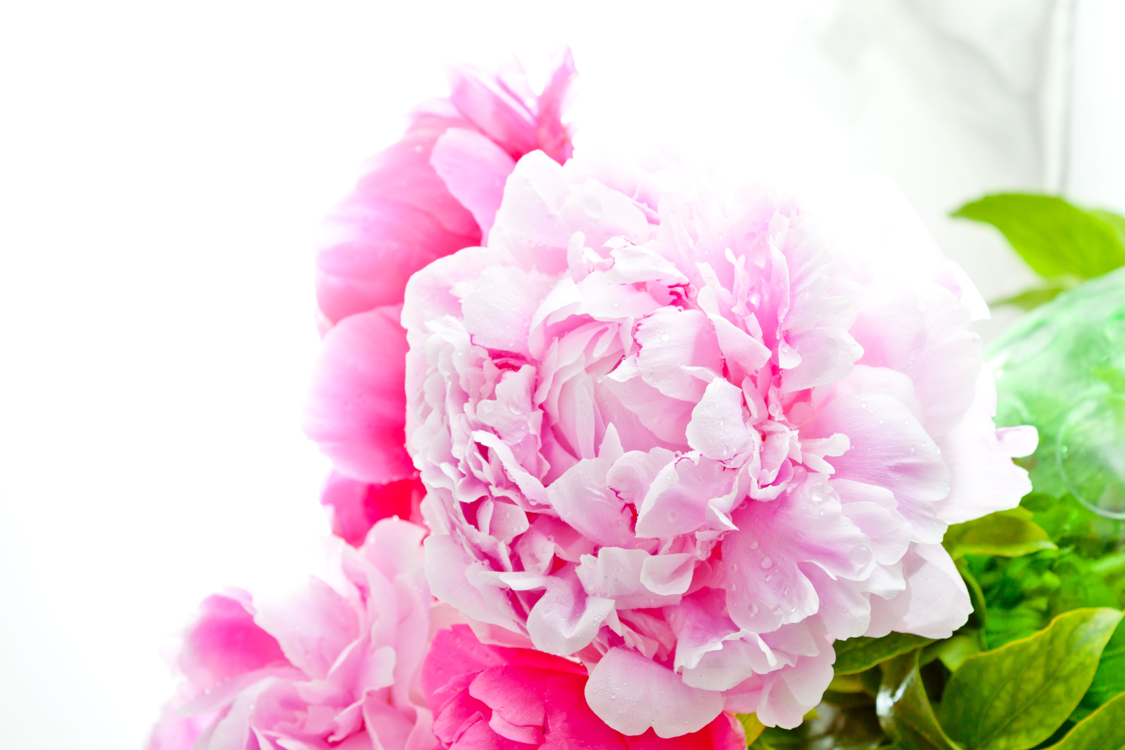 Pink romantic peonies perfect for a mums wreath or favourite pink romantic peonies perfect for a mums wreath or favourite auntie perfect funeral flowers izmirmasajfo