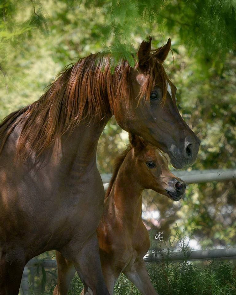✿♫❤ ~ Dark Chestnut Arabian Mare and Foal ~ oh! :D <3