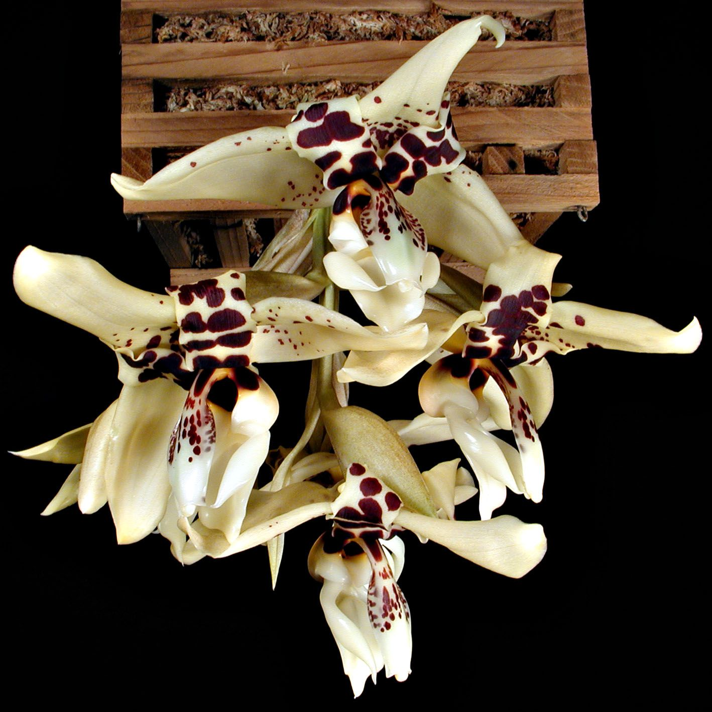 Stanhopea Graveolens | Stanhopea Ouille Ouille Ouille (Eye Eye Eye x oculata > -- reg. Sept ...