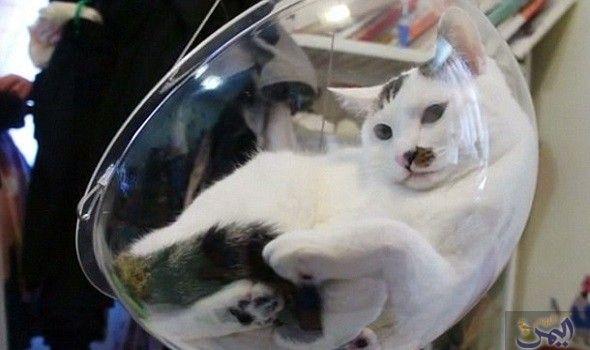 يان لو يعرض فقاعة دم دم للنوم والجلوس المريح للقطط Cats Cat Heaven Lazy Cat