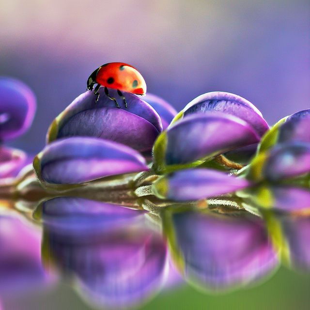 Beautifulnativeplants Ladybugs Lady Beetles Or Ladybird: Pin By Yvonne Wirges On Peridot And Amethyst