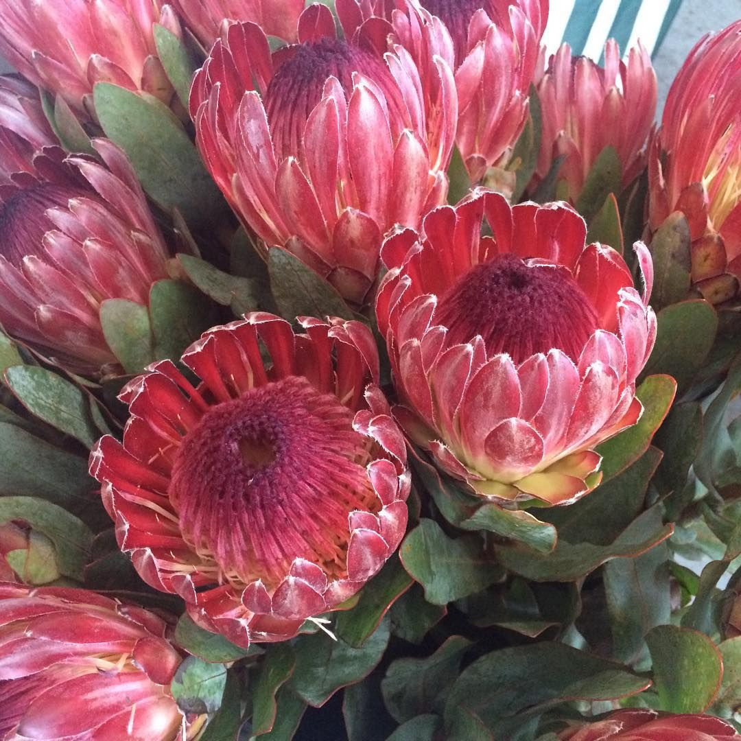 Protea Proteas Flower Flowers Red Pink Pincushion Southafrica Atelierao Protea Flower Protea Art Watercolor Flowers