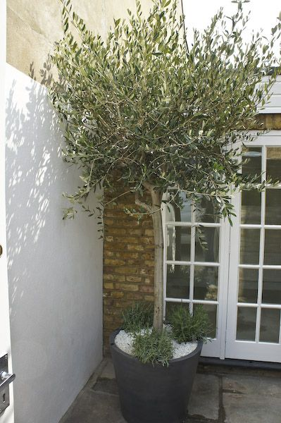 Polystone Planter With Olive Tree, Underplanted With White Pebbles And  Lavender
