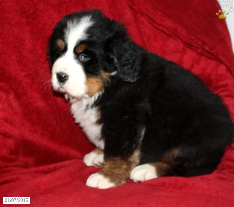 Bernese mountain dog puppy for sale in new york bernese