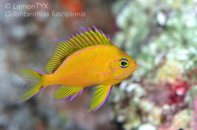 Odontanthias Fuscipinnis Png 640 424 Saltwater Fish Tanks Marine Fish Mandarin Fish
