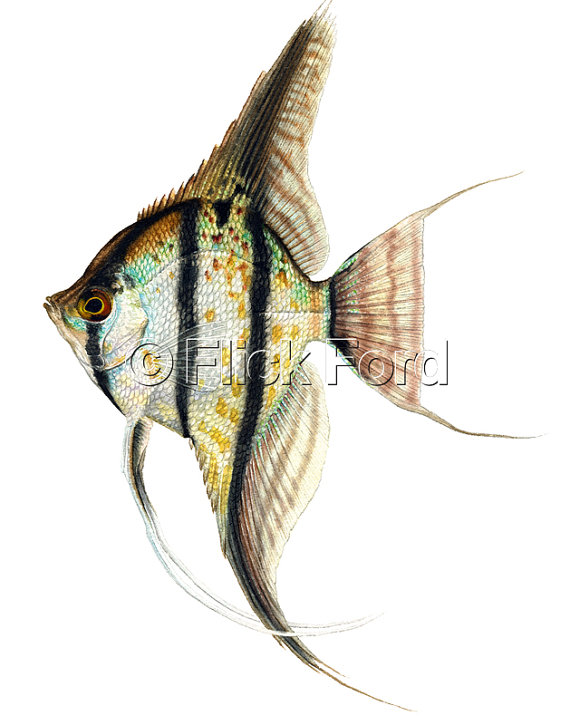 Peruvian Scalare Angelfish Open Edition Print By Flick Ford Wild