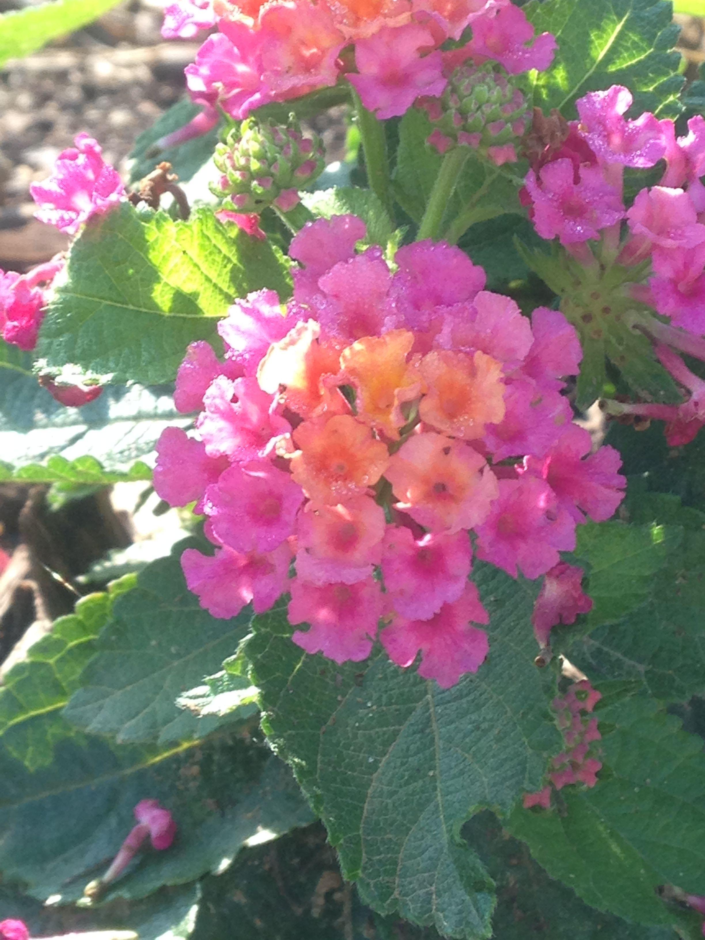 How To Grow Lantana Information On Growing Lantana Lantana Lantana Plant Creative Gardening