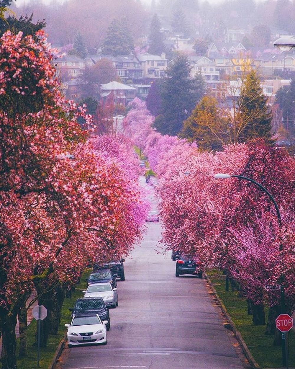 Wander Vancouver On Instagram Cherry Blossom Heaven Comment Your Favourite 1 10 Photos By 1 Staysinspired Vancouver Photo Instagram