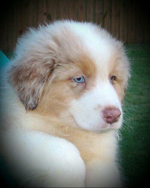 Red Merle Australian Shepherd Puppy Hunde