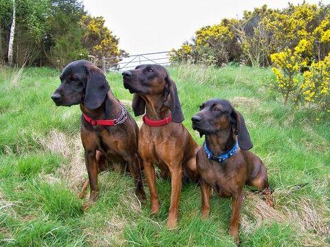 Beautiful Hanover Hanoverian Hound Puppy Dogs Bloodhound Dogs Bavarian Mountain Hound Hound Puppies
