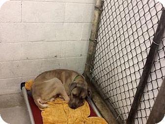 Washington Dc Great Dane Mix Meet Romulus A Dog For Adoption