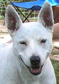 Pin On Angus Bull Terrier Heeler Pit Bull Mix
