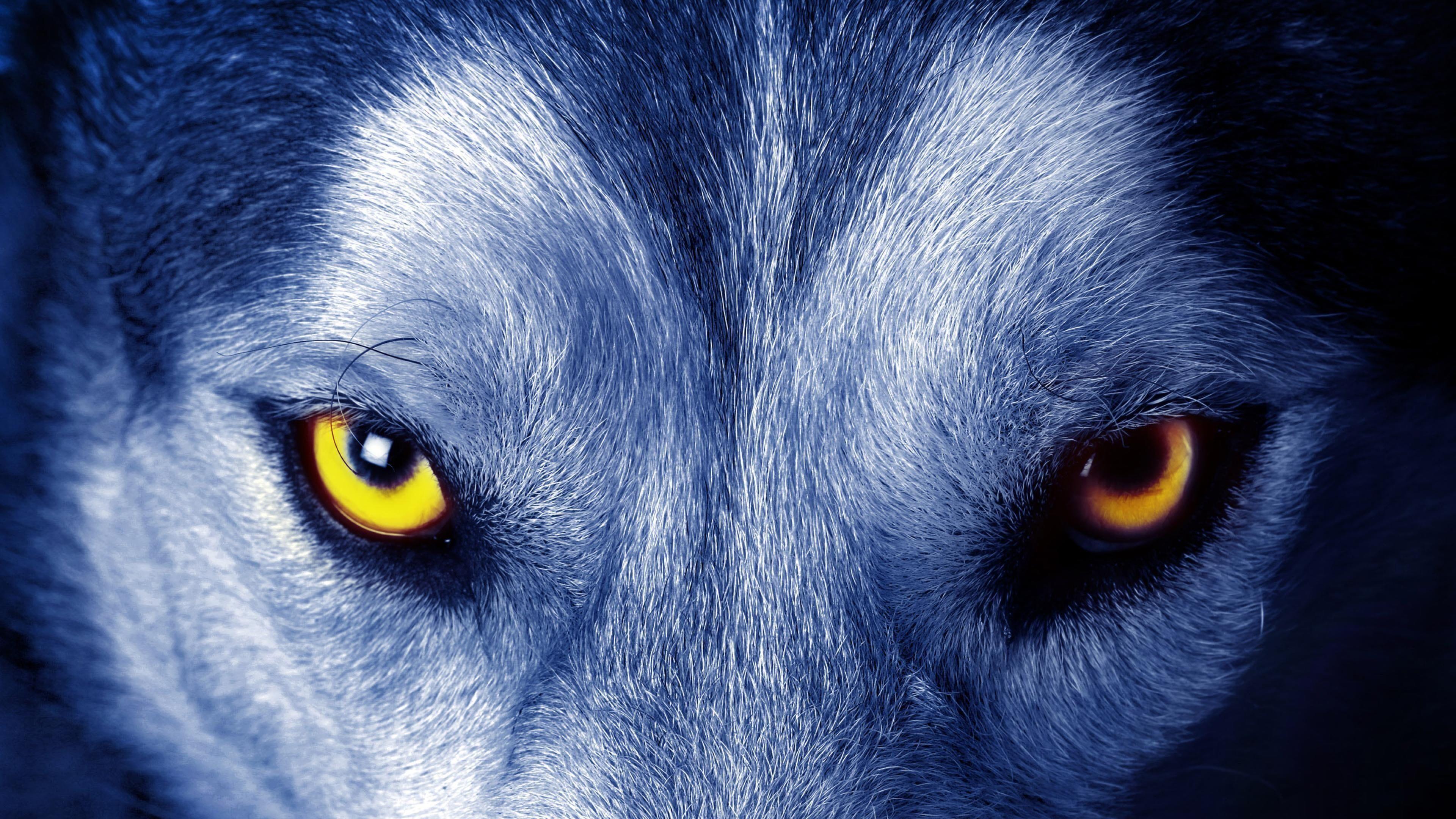 Yellow Wolf Eyes Eye Eyes Look Wild Wild Animal 4k Wallpaper