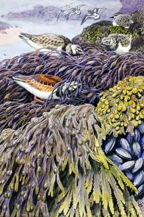 Description  Turnstones are searching for food in a sea-wrack of common bladder-wrack, serrated wrack and flat-wrack  Illustrator  C. F. Tunnicliffe