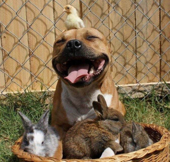So cute & this goes to show staffies should not all be tarred with the same brush. This should be used on advert to promote the other side of these fantastic dogs :)