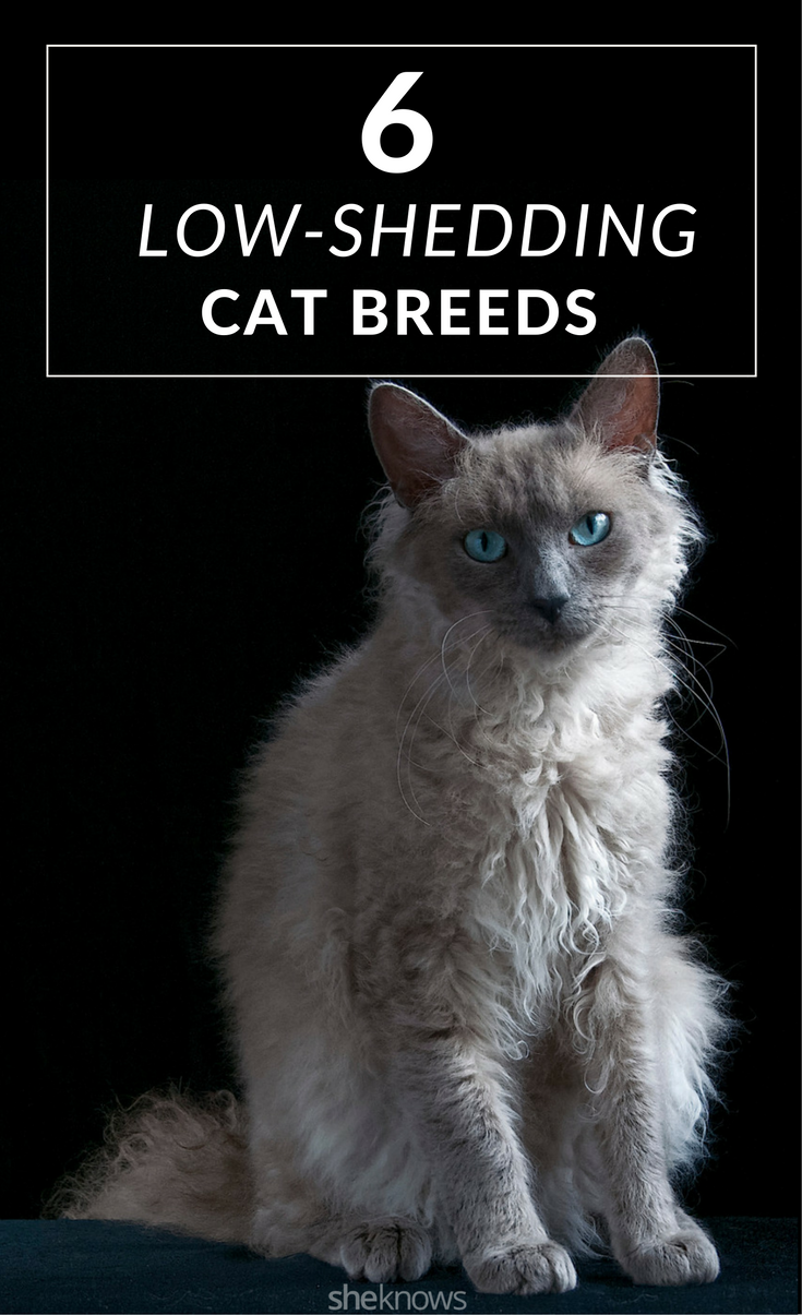 These six cat breeds hardly ever shed, rendering your lint