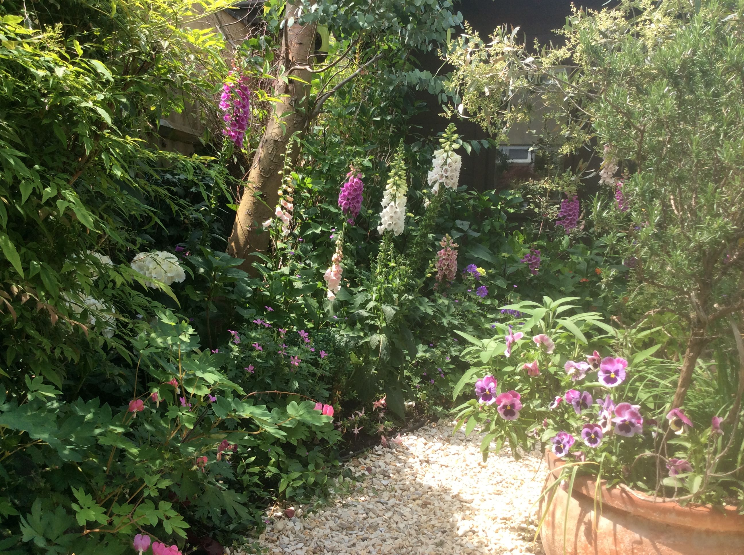 Foxgloves In Garden