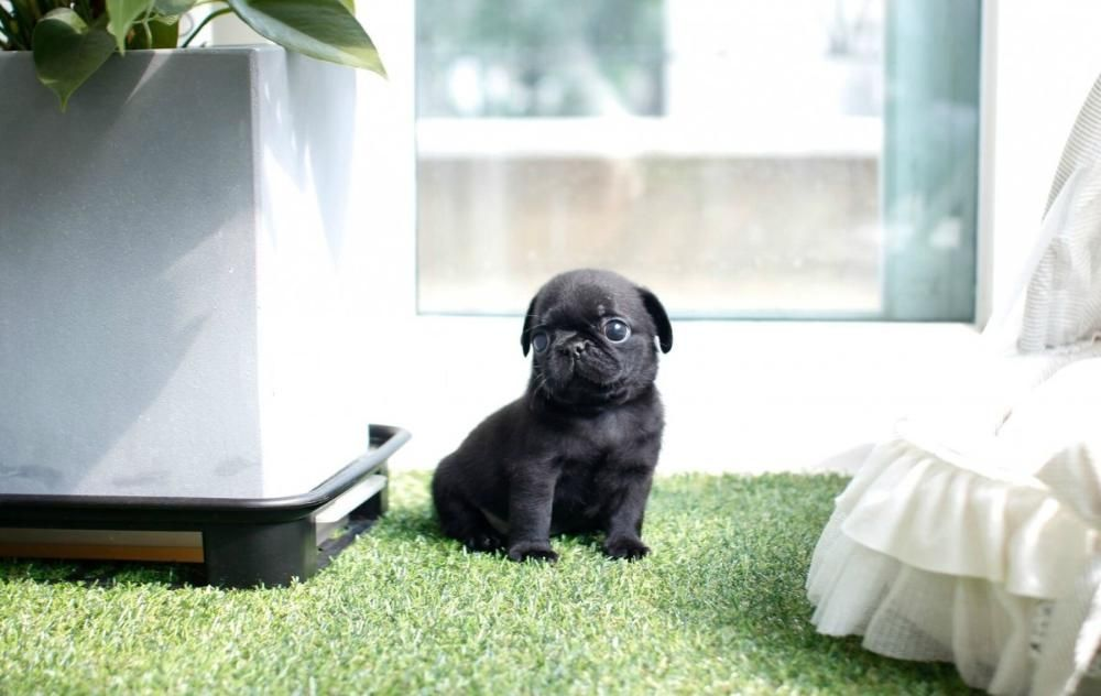 Cutest Lil puppy (With images) Pugs for adoption, Teacup