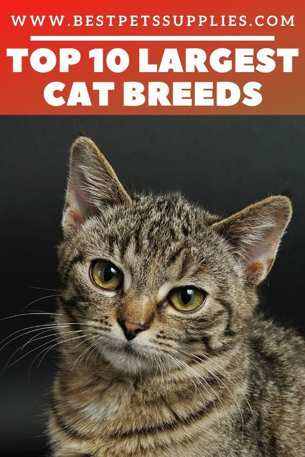 Top 10 Largest Cat Breeds EntirelyPets Blog in 2020