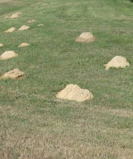How To Solve Your Mole And Gopher Problem Lawn And Garden Garden Problems Garden Pests