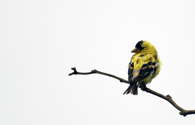 Goldfinch on Salal