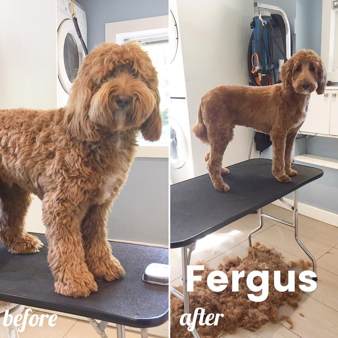 Before and after of Fergus the #doodle! #summercut #lotsoffur