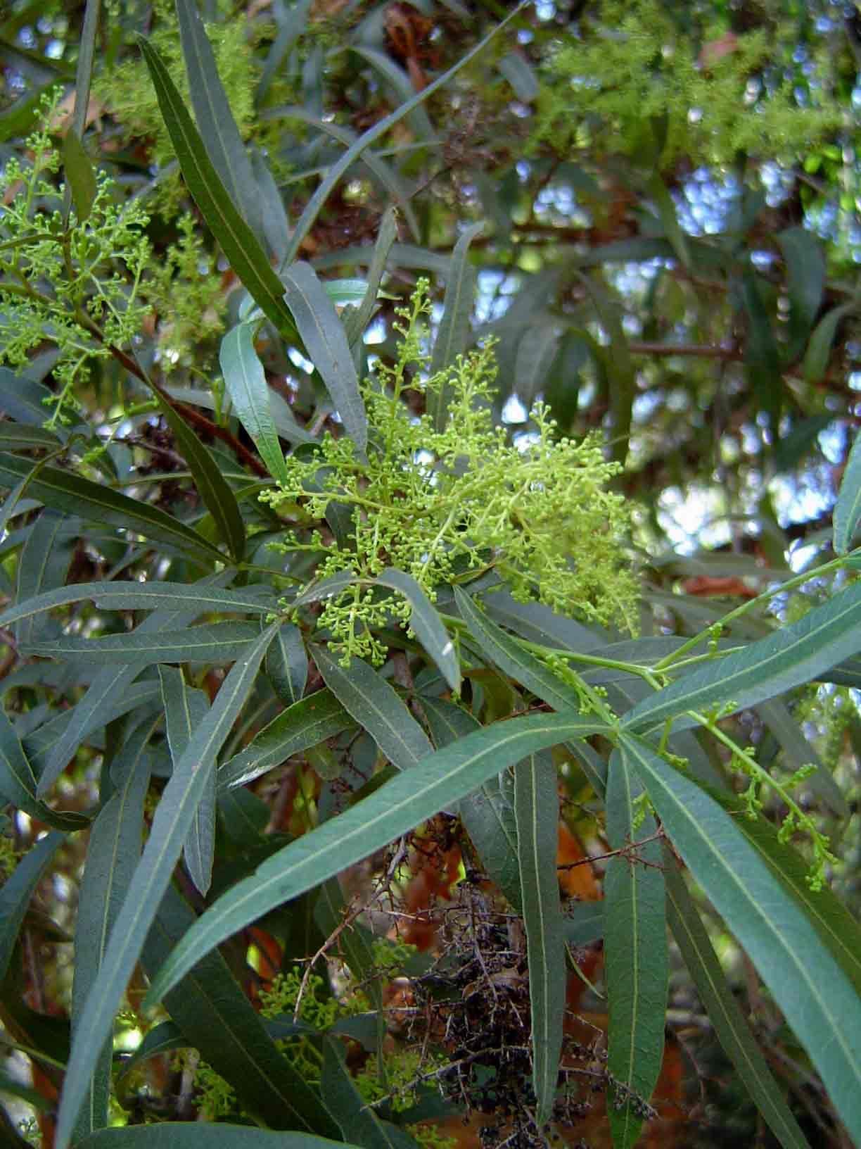 Rhus lancea African Sumac Landscaping plants, Trees to
