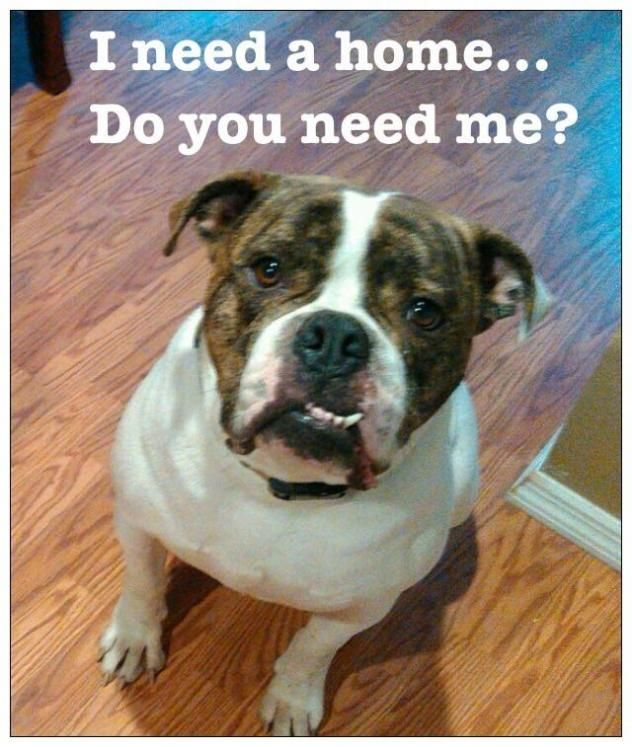 Adopt Cane On Pets American Bulldog Rescue Dogs