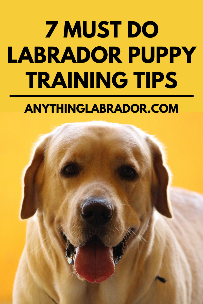 7 Must Do Labrador Puppy Training Tips Labrador Puppy Training Puppy Training Puppy Training Tips