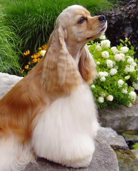 The Friendly Fur Top 10 Cheapest Dog Breeds American Cocker Spaniel Cocker Spaniel Dog Spaniel Breeds