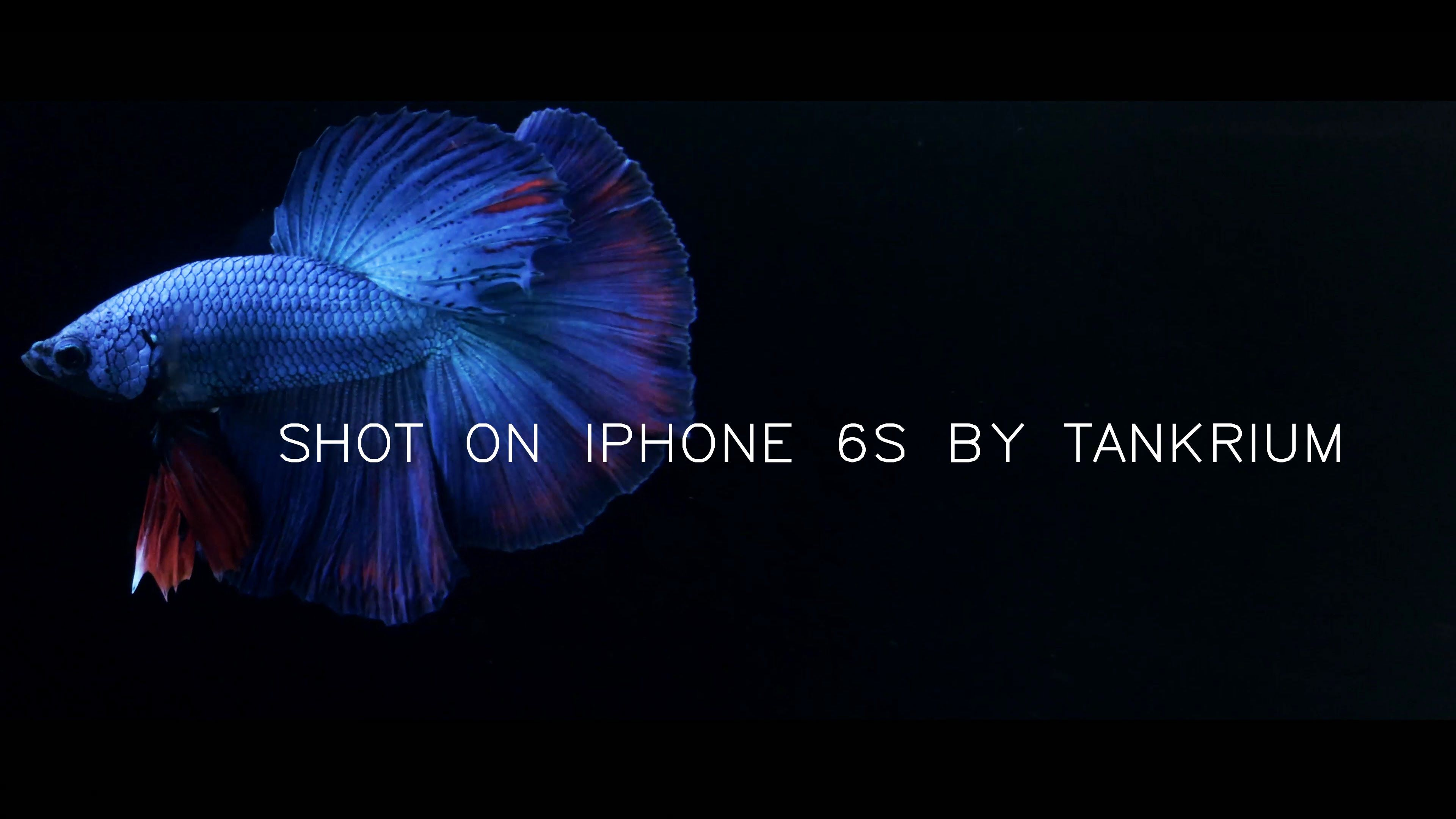 This Video was Shon on iPhone 6s in 4K / Video Test of Betta Fish in