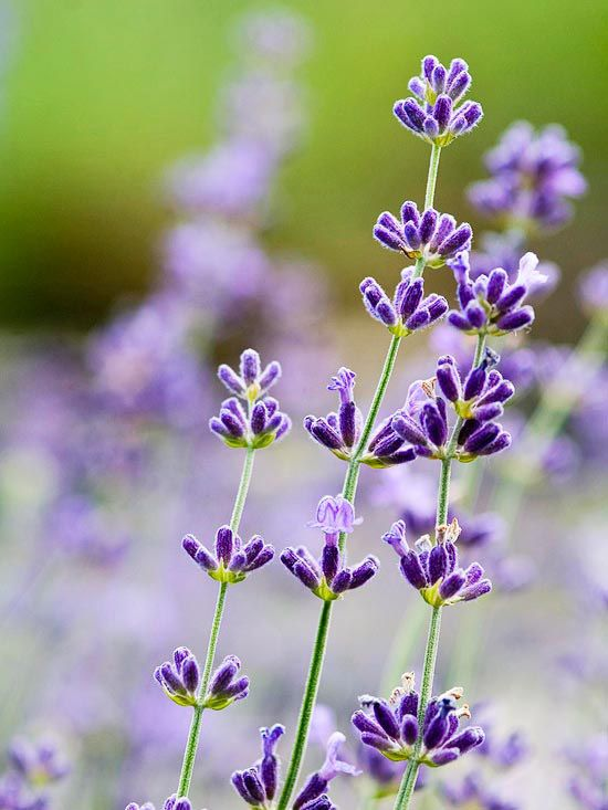 12 Fresh Herbs You Should Really Be Growing This Year Lavender Flowers Purple Flowers Beautiful Blooms