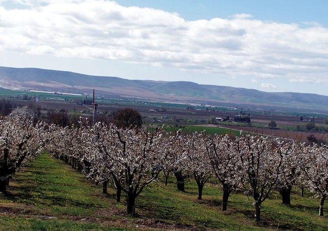 Cherry orchard south of Grandview, WA, in full bloom during April. Horse Heaven Hills are in the background.