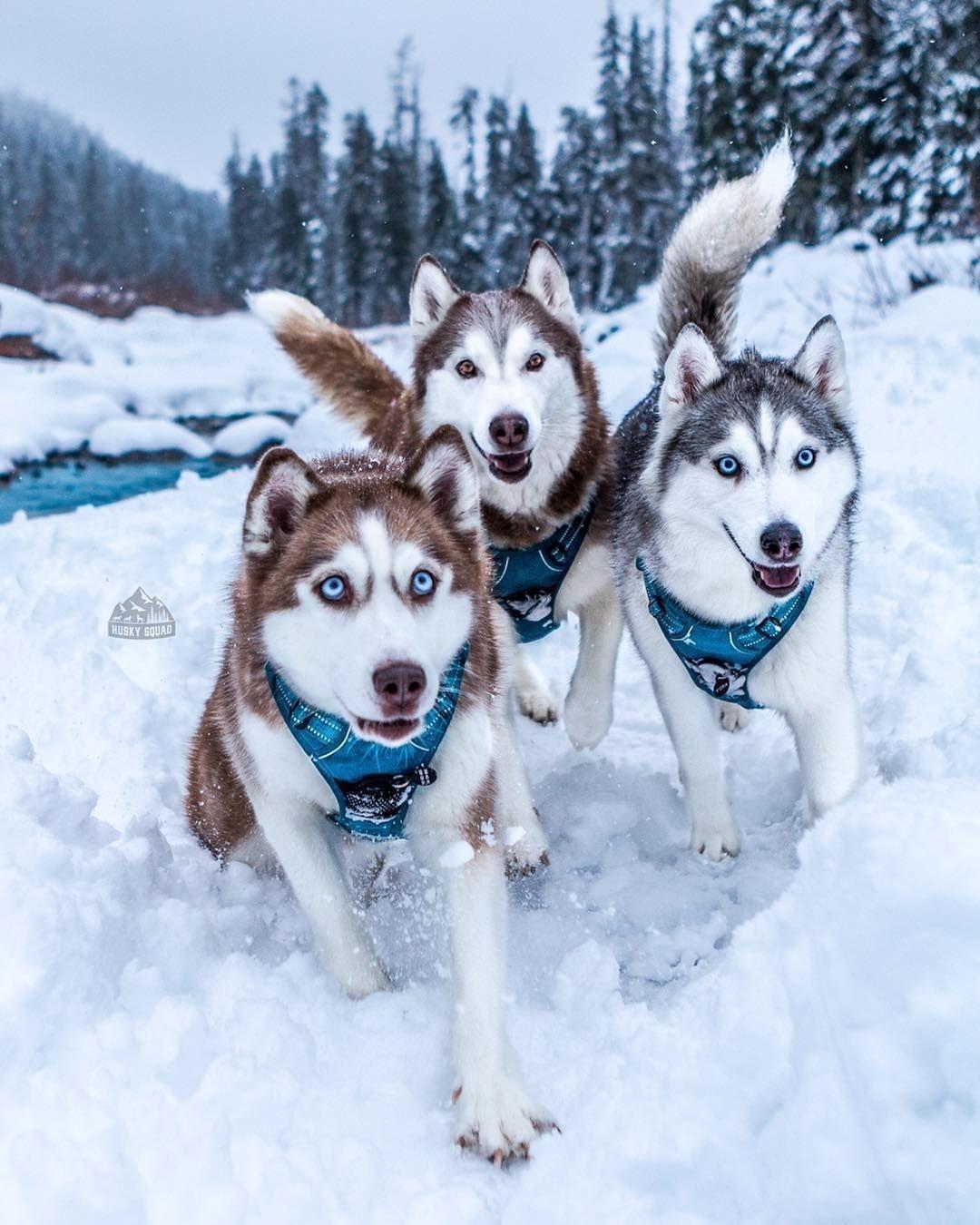 Husky Pedia When Your Friend Opens A Bag Of Chips Tag 3 Friends Huskysquad Husky Dogs Husky Breeds Siberian Husky