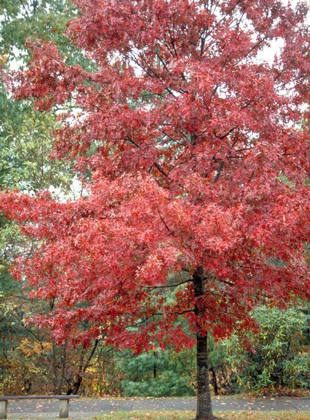 Red Oak Tree Fast Growing Shade Trees