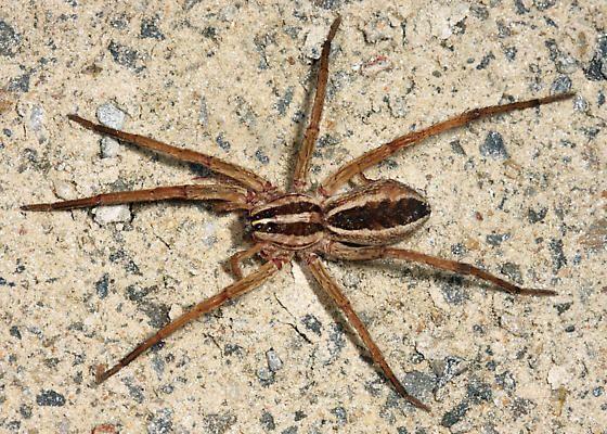 Rabid Wolf Spider Rabidosa Rabida Bugguide Net Wolf Spider Spider Wolf