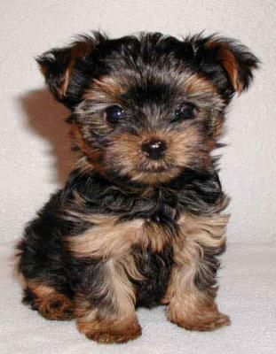 Baby Yorkies Dog Breeds That Dont Shed Yorkie Puppy Hypoallergenic Dog Breed