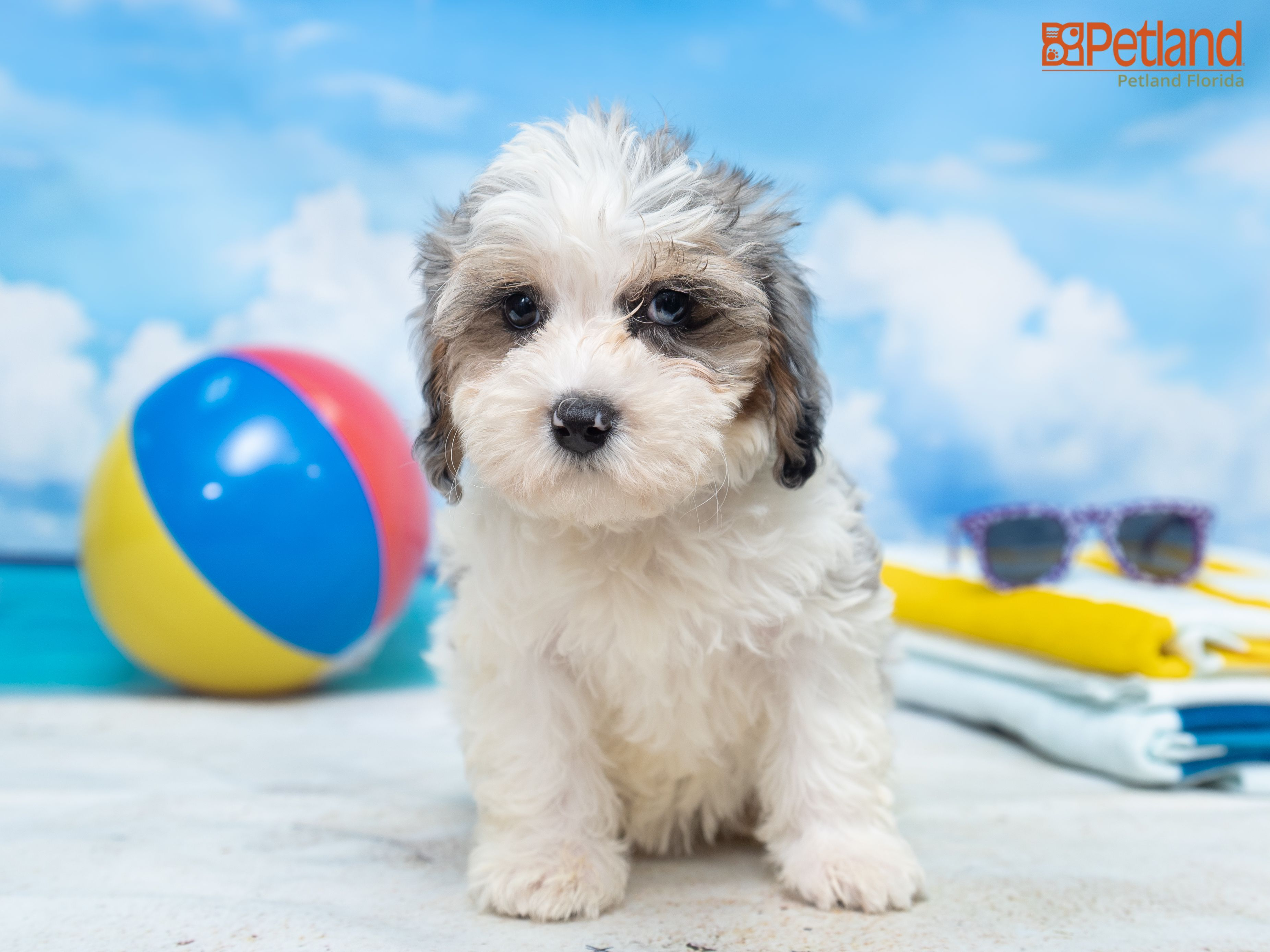 Puppies For Sale Petland Florida In 2020 Puppy Friends Dog Lovers Puppies